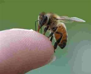 arı sokması jpg.widec
