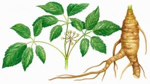 Ginseng-roots